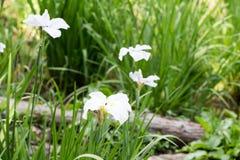 Weiße Iris Lizenzfreies Stockfoto