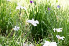Weiße Iris Stockfotografie