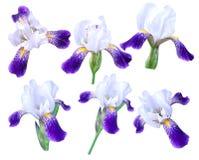 Weiße Iris auf weißem Hintergrund stockfotografie
