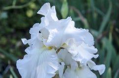 Weiße Iris Bloom Lizenzfreies Stockbild