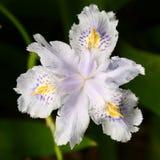 Weiße Iris Flower Lizenzfreies Stockbild