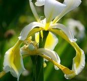 Weiße Iris, weiße Spinne Stockfotos