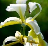 Weiße Iris, weiße Spinne Stockbild