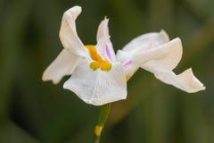 Weiße Irisblume mit gelber und purpurroter Mitte auf dem grünen BAC Lizenzfreies Stockbild