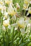 Weiße Irisblumen im Garten Stockbild
