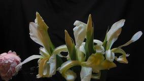 Weiße Irisblumen und eine Pfingstrose, die in einem timelapse blüht stock footage