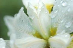 Weiße Irisblumennahaufnahme von Regentropfen nach einem Frühlingsregen Lizenzfreies Stockbild