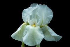 Weiße iriss auf schwarzem Hintergrund Stockbild