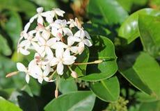 Weiße Ixora-Blume stockbild