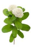 Weiße Ixora-Blume Stockfoto