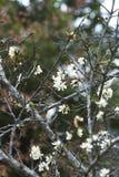 Weiße Japan-Kirschblüte Stockfotos