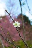 Weiße Japan-Kirschblüte Lizenzfreies Stockbild