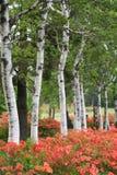 Weiße japanische Bäume Lizenzfreies Stockfoto