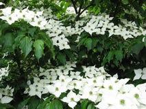 Weiße japanische Hartriegelblumen lizenzfreies stockbild