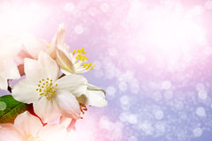 Weiße Jasmin-Blume Stockbilder