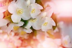 Weiße Jasmin-Blume Lizenzfreies Stockbild