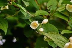 Weiße Jasminblume auf einem Hintergrund von Blättern Lizenzfreie Stockfotografie