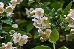 Weiße Jasminblume auf einem Hintergrund von Blättern Lizenzfreie Stockfotos