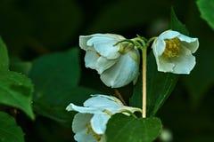 Weiße Jasminblume auf einem Hintergrund von Blättern Stockbild