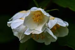 Weiße Jasminblume auf einem Hintergrund von Blättern Lizenzfreies Stockfoto