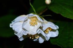 Weiße Jasminblume auf einem Hintergrund von Blättern Lizenzfreies Stockbild