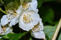 Weiße Jasminblume auf einem Hintergrund von Blättern Stockfotos