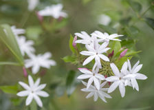 Weiße Jasminblumen auf Baum im Garten Lizenzfreie Stockfotos