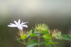 Weiße Jasminblumen auf Baum im Garten Lizenzfreies Stockfoto