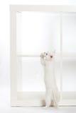 Weiße Kätzchenstellung Stockbild