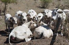 Weiße Kühe Stockfotografie