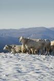 Weiße Kühe Stockbild