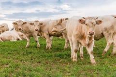 Weiße Kühe auf dem Gebiet Stockbild