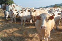 Weiße Kühe auf einem Ackerland in der Tschechischen Republik Lizenzfreie Stockfotografie