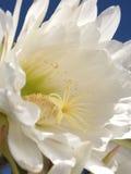 Weiße Kaktus-Blume im Sonnenschein Stockbild