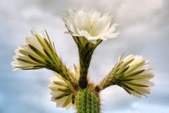 Weiße Kaktusblumen gegen Wolken Lizenzfreies Stockfoto