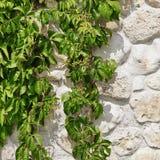 Weiße Kalkstein-Wand versteckt, wenn grüne Weinreben Backg gehangen werden Stockfoto