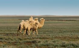 Weiße Kamele. Familie Stockfotografie