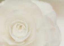 Weiße Kamelienblüte Lizenzfreie Stockfotografie