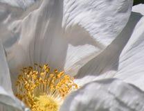 Weiße Kamelienblüte Lizenzfreies Stockbild