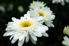 Weiße Kamille Stockbild
