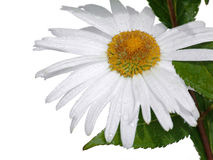 Weiße Kamille Lizenzfreies Stockfoto
