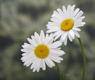 Weiße Kamille in der Natur Lizenzfreie Stockbilder