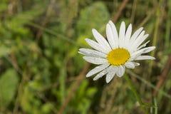Weiße Kamille mit Regentropfen auf unscharfem Hintergrund Lizenzfreie Stockfotos