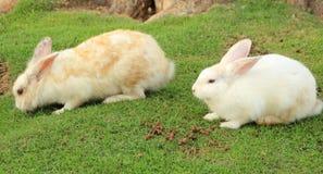 Weiße Kaninchen stockfoto