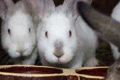 Weiße Kaninchen Stockfotos