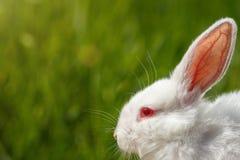 Weiße Kaninchennahaufnahme auf grünem Hintergrund stockfotografie