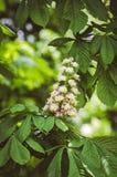 Weiße Kastanienblumen Kastanie am Frühling Stockbilder