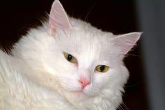 Weiße Katze Lizenzfreie Stockfotos