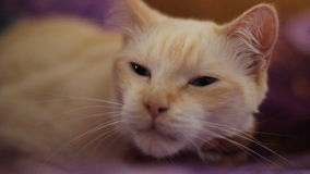 Weiße Katze stock footage