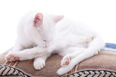 Weiße Katze auf einem weißen Hintergrund Stockbilder